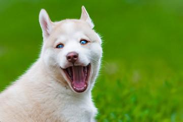Cute husky pup smiling