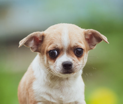 Cute chiwawa puppy
