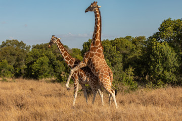Two Reticulated Giraffes Mating in the Morning, Ol Pejeta Conservancy, Kenya, Africa
