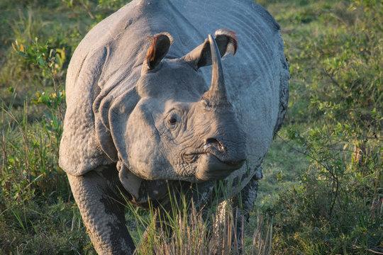 An Indian Rhino at Kaziranga National Park