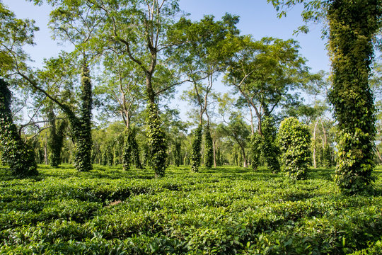 Typical tea plantation in Assam near Kaziranga National Park