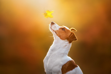 Jack russel close up portrait with autumn leaves at sunlight