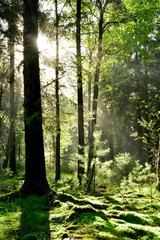 Fototapete - Wunderschöner, grüner Wald mit alten und jungen Bäumen von denen der Morgentau tropft und mit hellem Sonnenlicht im Hintergrund