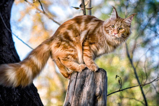 Maine coon kitten sitting on a tree in forest, park on summer sunny day.