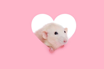 Pretty white rat looking throught the heart frame