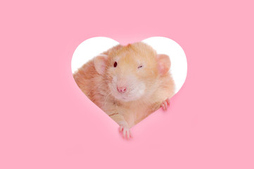 Rat in a heart shape frame blinking with one eye