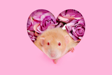Red eyed rat looking through the heart shape frame against roses background