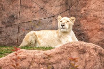 Reclining Lioness