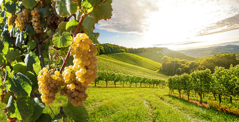Foto op Textielframe Wijngaard Vineyards with grapevine and winery along wine road in the evening sun, Europe