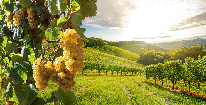 Vineyards with grapevine and winery along wine road in the evening sun, Europe