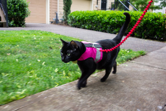 A black cat on a leash wearing a  pink vest harness,  quickly walking down a sidewalk