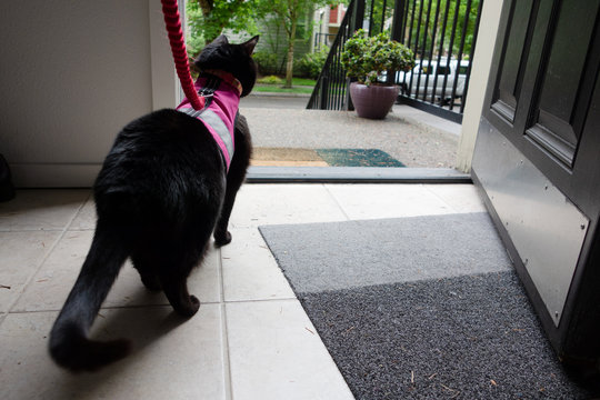 A black cat on a leash wearing a  pink vest harness, looking out the front door of a home.