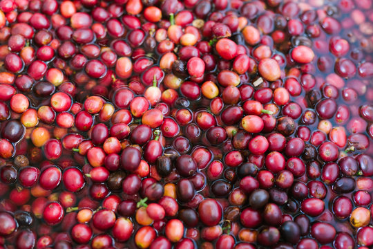 Ripe red coffee cherries harvested and being rinsed clean in water / full frame close up overhead