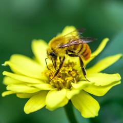 黄色の花の上で蜜を吸うミツバチ