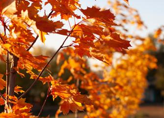 Aluminium Prints Autumn Red maple leaves in autumn park