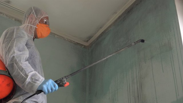 Removing mold.A professional disinfector cleans and sprays the area with an antimicrobial treatment to prevent mold from coming back in house