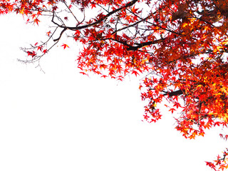 Wall Mural - red maple leaves over white background