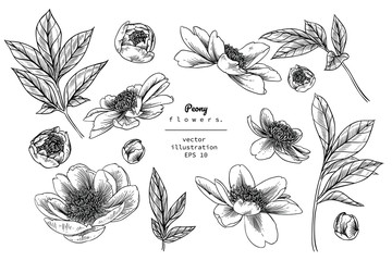 Sketch Floral Botany Collection. Peony flower drawings. Black and white with line art on white backgrounds. Hand Drawn Botanical Illustrations. Nature Vector. Wall mural