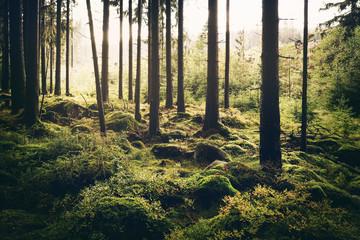 Warmer Sonnenschein im Harzer Fichten Wald