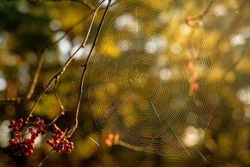 spider web in back light at a bush with berries
