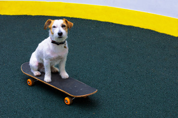 Funny parson terrier dog learns to ride a longboard outside. Satisfied Jack Russell Terrier proudly sits and looks directly at the camera on a skateboard on the playground outside.