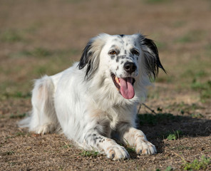 english setter in nature