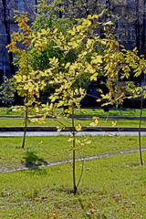 Fototapete - thin young tree with yellow autumn leaves