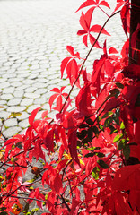 red leaves of a climbing vine in sunshine