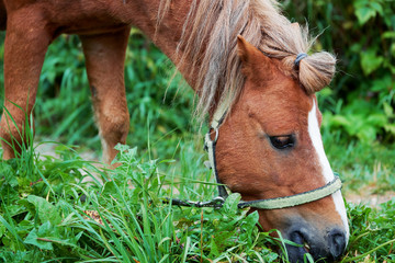 Young male pony horse eating grass on the country meadow close-up. Side view