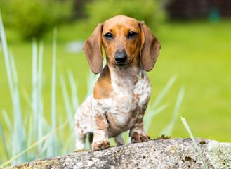 dog dachshund lying on the grass