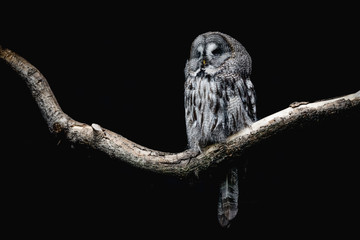 Ural Owl sitting on a tree branch Wall mural