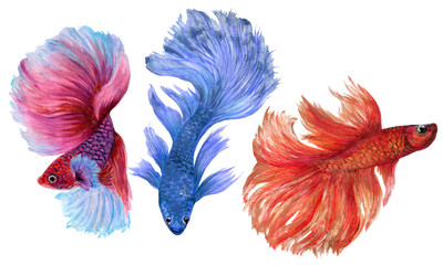 Colorful Betta Fish watercolor hand paint Illustration Siamese and Chinese Fighting Fish, Betta Splendens, for textile fabric Invitation card banner