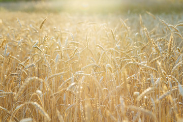 Ripe wheat grows on an agricultural field with bright sun light. Autumn harvest of grain crops. Rural scenery. Selective focus.