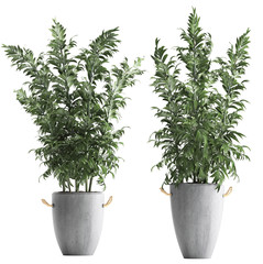 bamboo trees in pots on a white background
