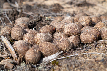 Pile of moose litter, which is used as fertilizer in the northern countries, in a pine forest, close up