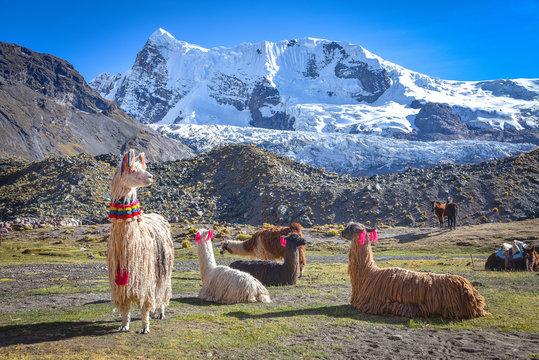 Llama pack in Cordillera Vilcanota, Ausungate, Cusco, Peru