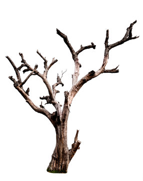 Dead tree isolated on white background with clipping path. Dead and dry tree