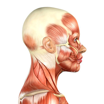 3d illustration of female head muscles anatomy side view