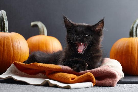 Halloween evil black cat with pumpkins