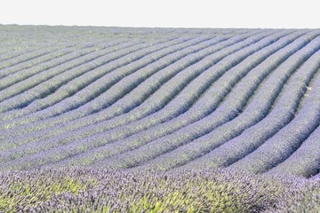 lavender field in drome valensole provence france , digital image picture