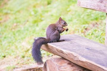 Eichhörnchen - Sciurus