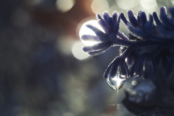 a drop of water on a flower petal. lavender. blue flower macro with beautiful bokeh in the rain