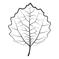 The leaf of a aspen (Populus tremula) is isolated on the white background, line art.