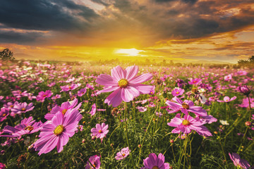 Photo sur Toile Univers cosmos flower field meadow and natural scenic landscape sunset