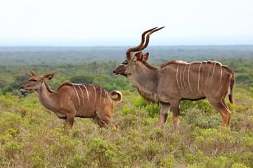 Kudu Weibchen und Männchen