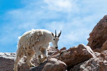 Mountain goat climbing on the summit of Mount Evans Colorado