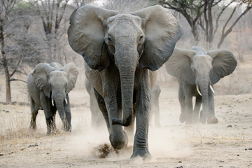Fotorolgordijn Olifant african elephant on the charge