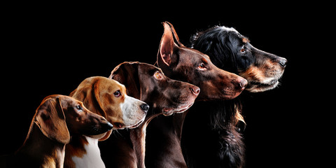 Group side view portrait of dog of different breeds against black background