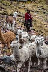 A native Quechua lady herds her pack of Alpacas through the Andes. Ausungate, Cusco, Peru