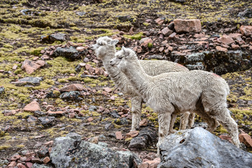 Alpacas in the mountains near Ausungate, Cusco, Peru